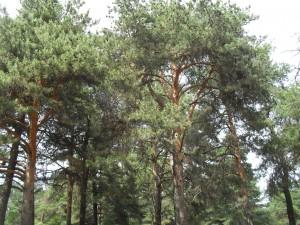 сосновый лес фотография