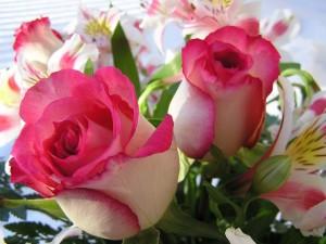красивые-розы-нежные