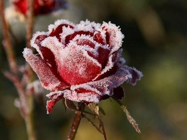 роза-в-снегу