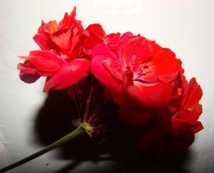 фото красный цветок
