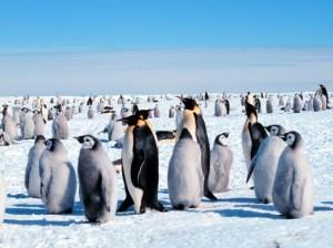 фото пингвины