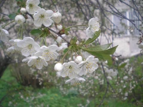 фото цветет яблоня красивая