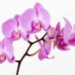 Влажность воздуха и орхидея